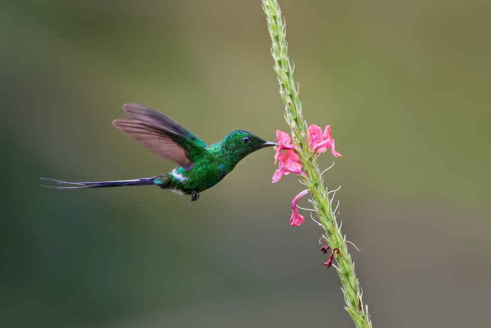 Green-Thorntail-JPEG_web.jpg