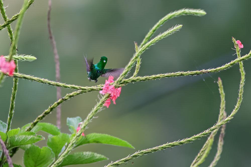 Green-Thorntail-JPEG_web 3.jpg