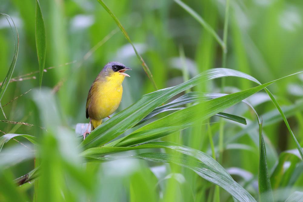 Masked-Yellowthroat-JPEG_web.jpg