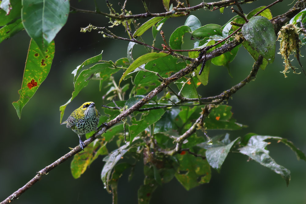 Spotted-Tanager-JPEG_web.jpg