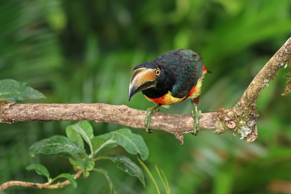 Aracari-JPEG_web.jpg