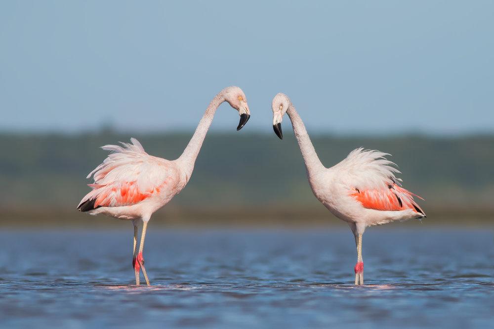 Chilean-Flamingo-JPEG_web 2.jpg
