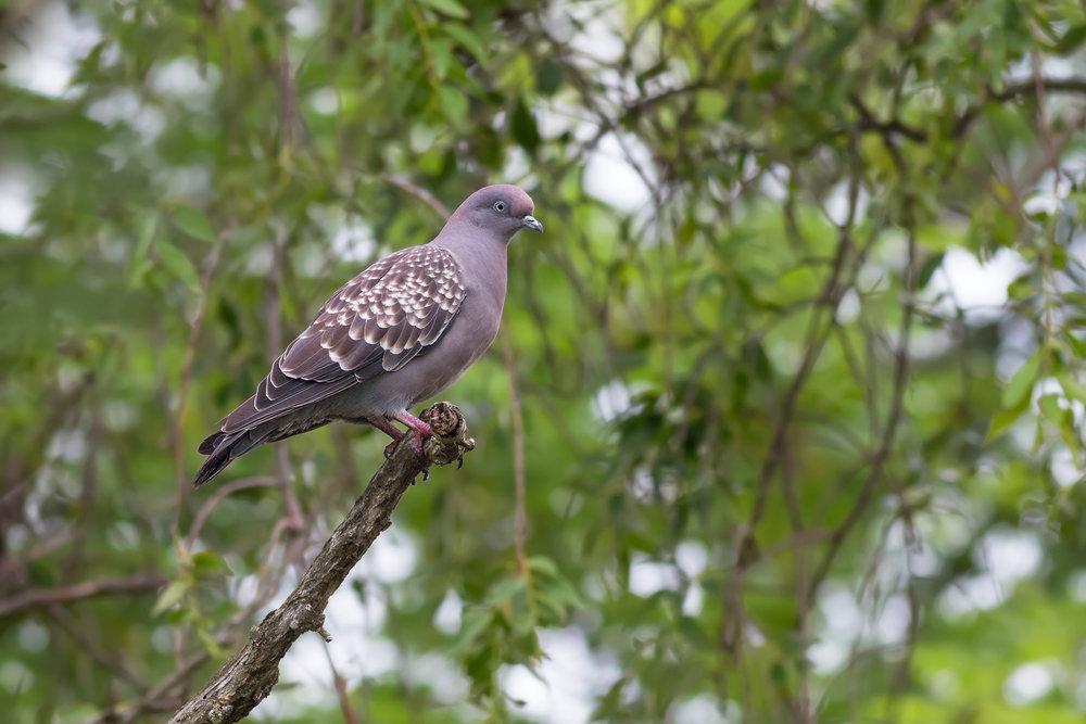 Spot-winged-Pigeon JPEG_web.jpg