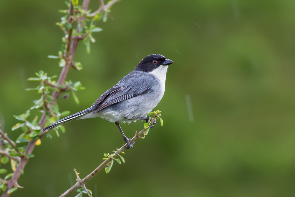 Black-capped-Warbling-Finch-JPEG_web.jpg