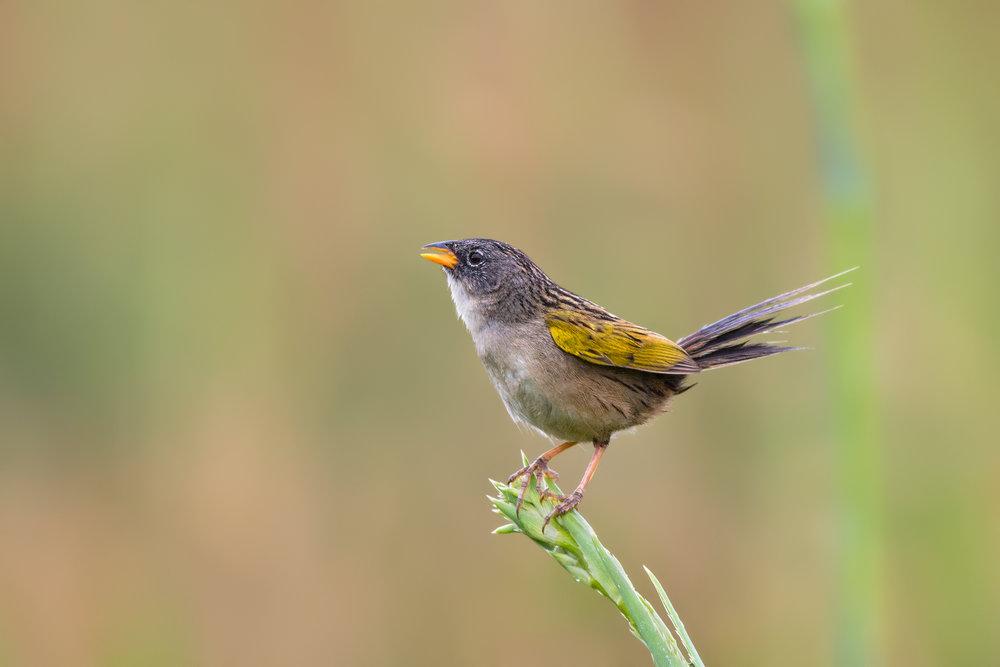 Lesser-Grass-Finch-JPEG_web 2.jpg