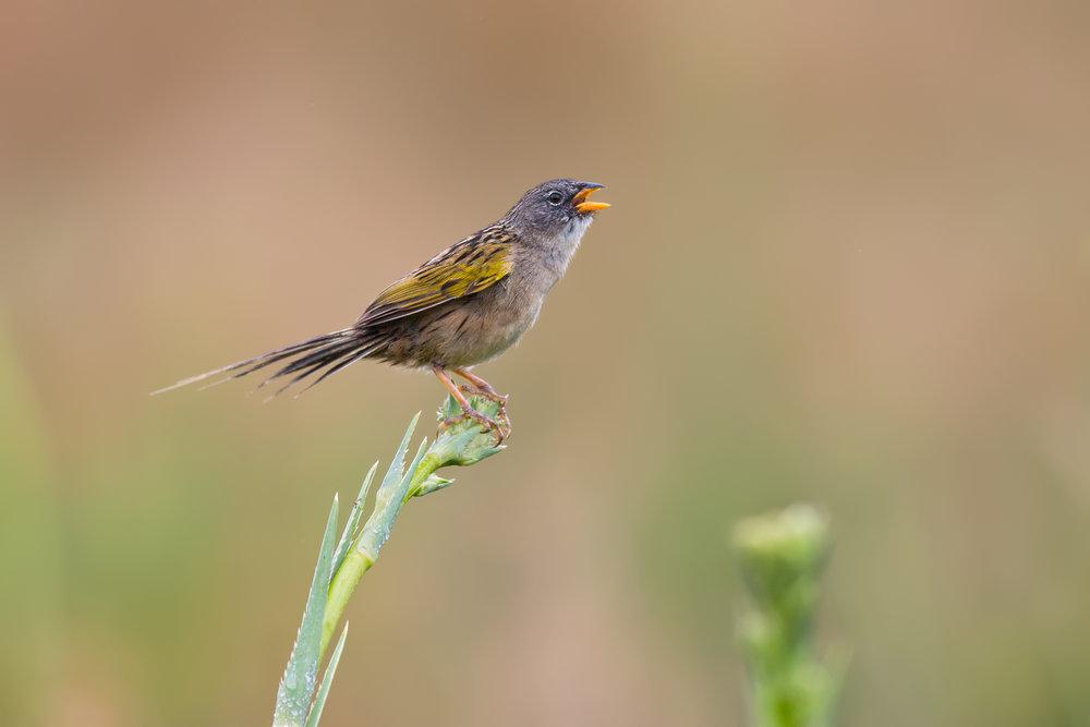 Lesser-Grass-Finch-JPEG_web 3.jpg