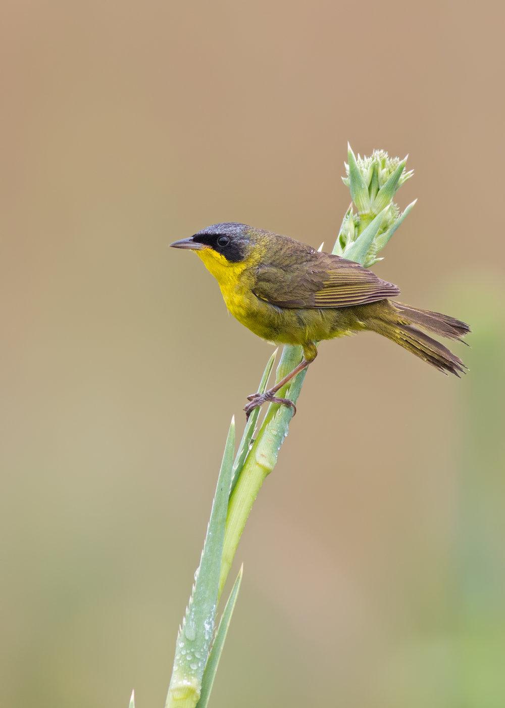 Masked-Yellowthroat-JPEG_web 2.jpg