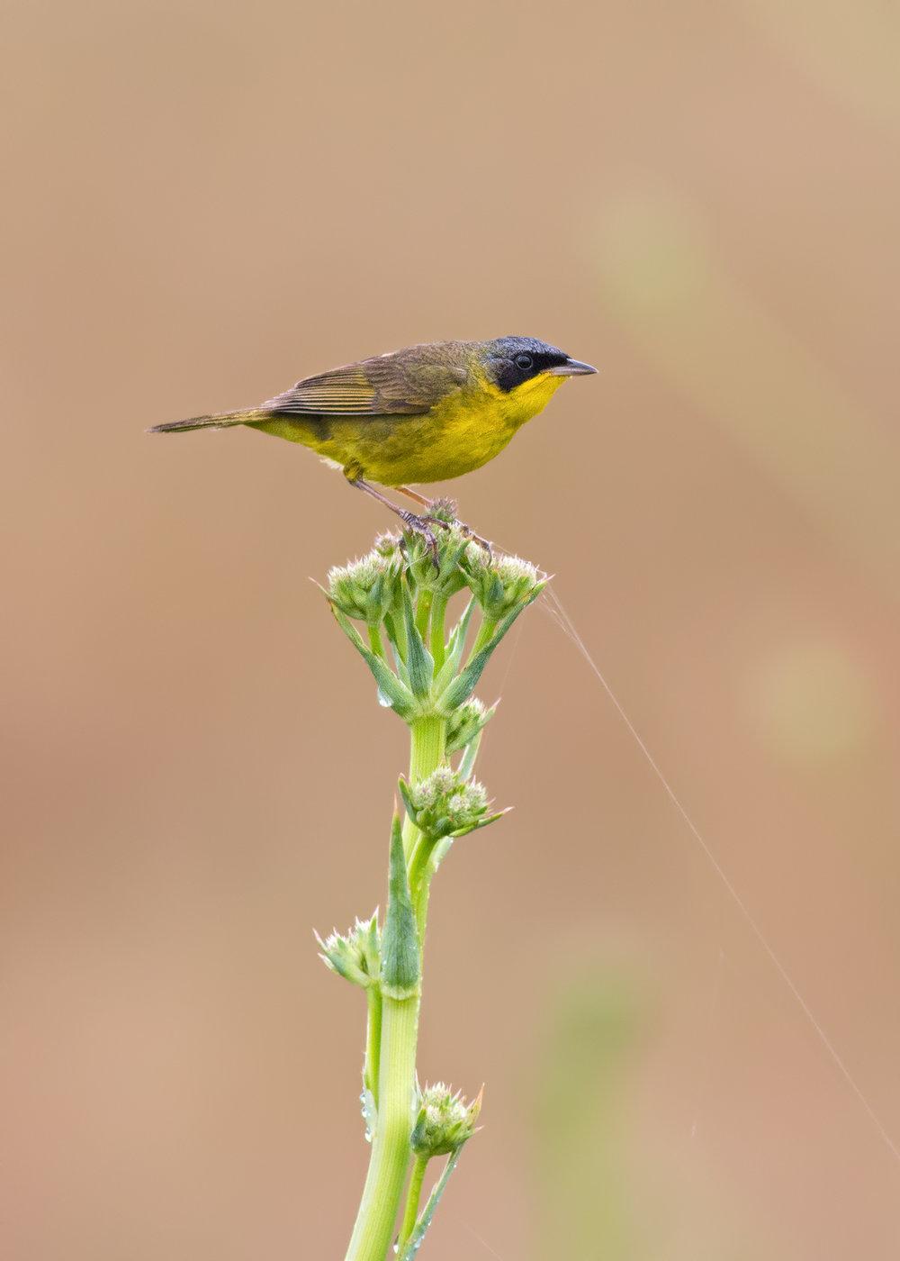 Masked-Yellowthroat-JPEG_web 3.jpg