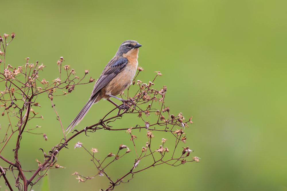 Long-tailed-Reed-finch-JPEG_web.jpg