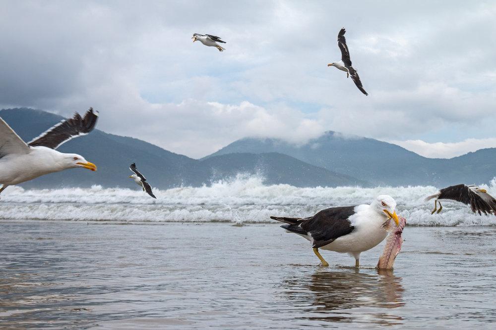Kelp-Gull-JPEG_web 3.jpg