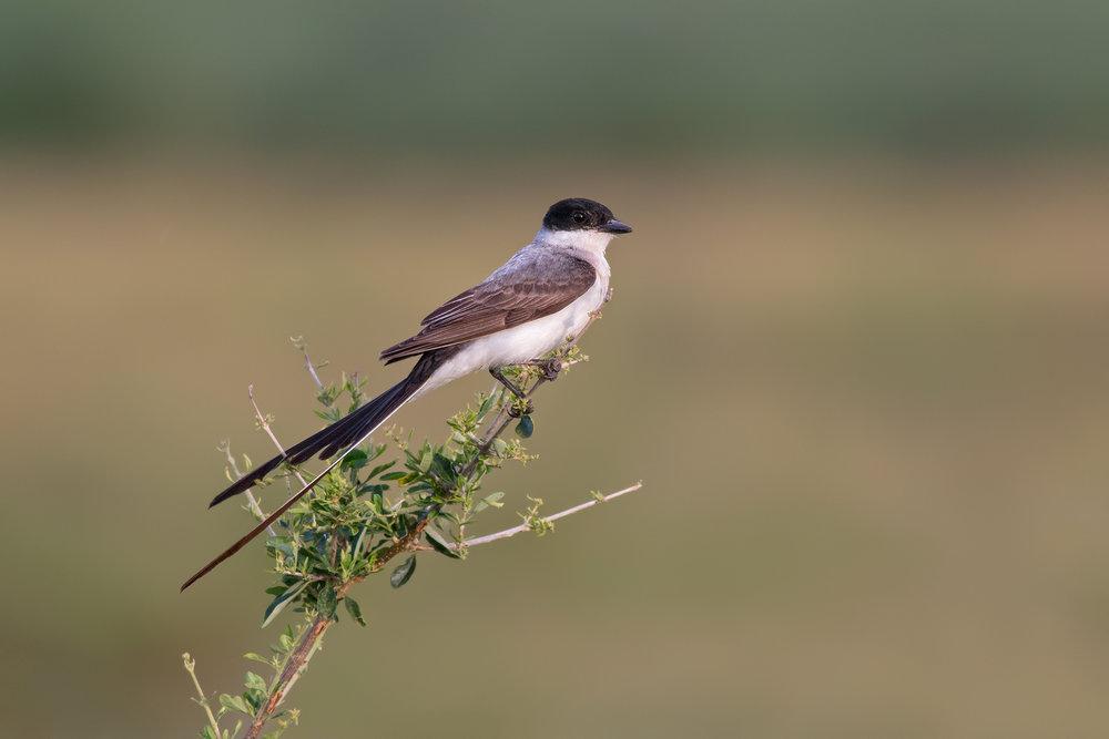 Fork-tailed-Flycatcher-JPEG_web 2.jpg