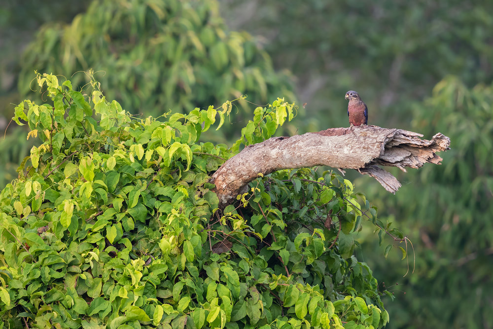 Brown Parrot JPEG_web.jpg
