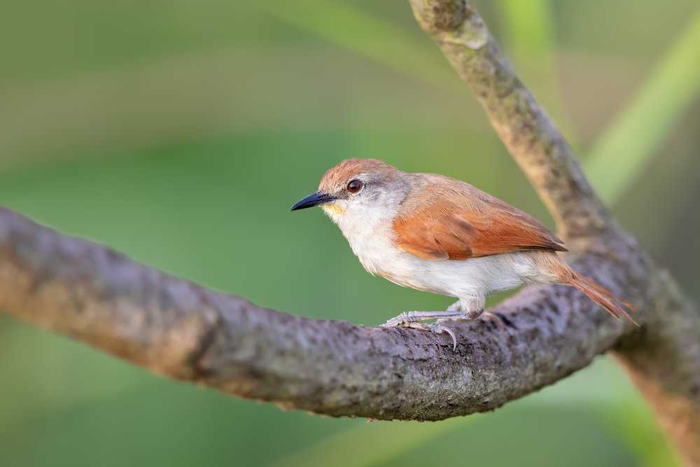 Yellow-throated Spinetail JPEG_web.jpg