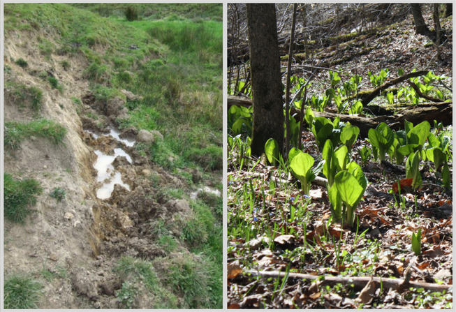 An impacted wetland due to cattle pugging (left; Hughes et al., 2014) will be held to different mitigation standards than a forested wetland (right; the leaves of skunk cabbage sprout soon after the inflorescence blooms), but both would be considered a wetland.