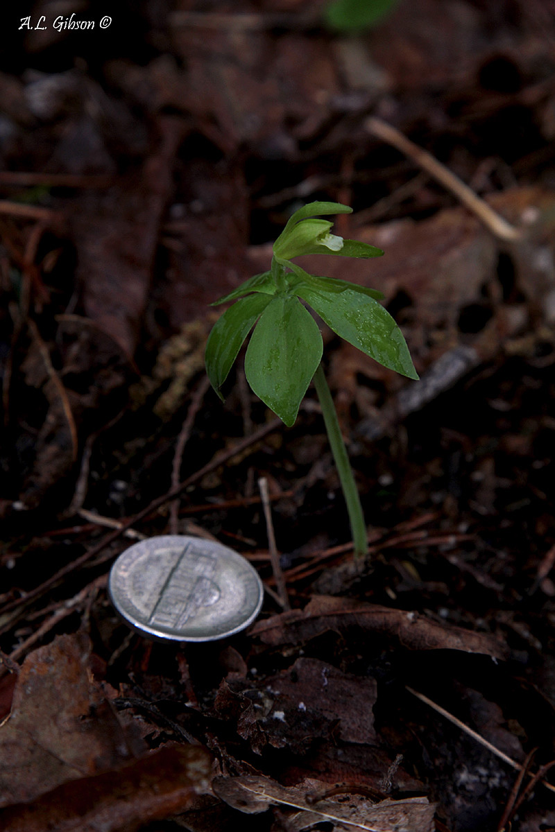 Federally listed small whorled pogonia. Photo credit: A. L. Gibson.