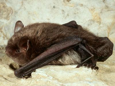 Federally endangered Indiana bat populations still struggle despite their listing in 1967. Photo credit: University of Kentucky.