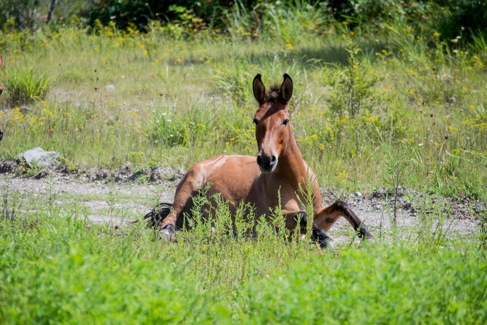 Kentucky's Free-Roaming Horses:  The True  Unbridled Spirit