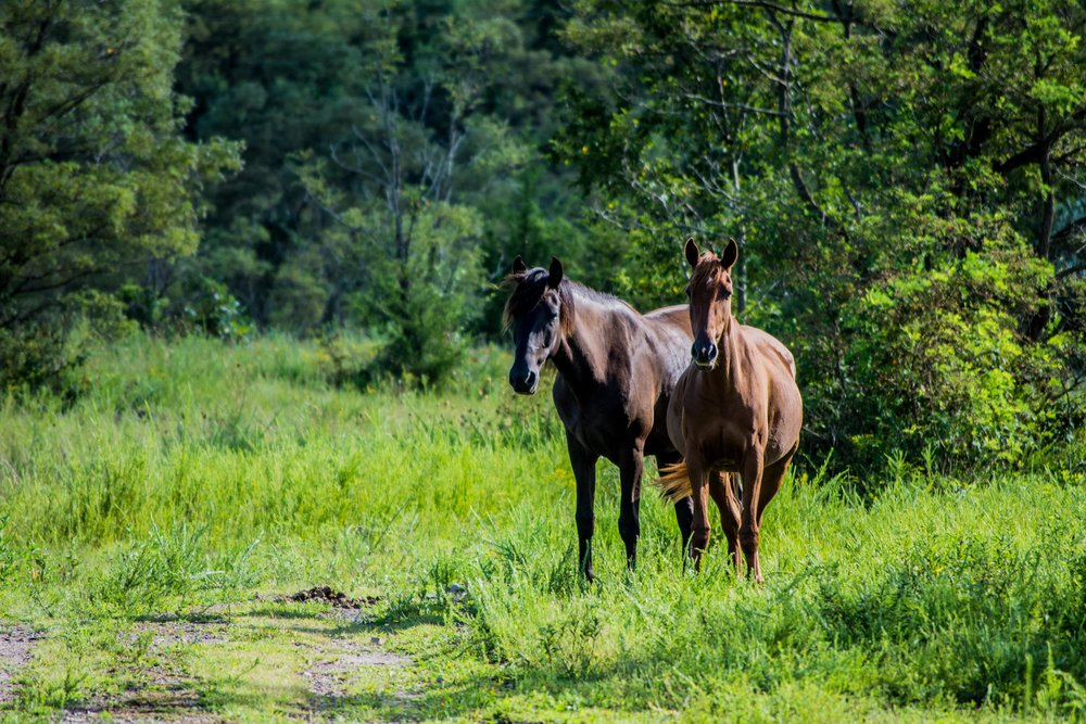 Kentucky's Free-Roaming Horses:  The True  Unbridled Spirit