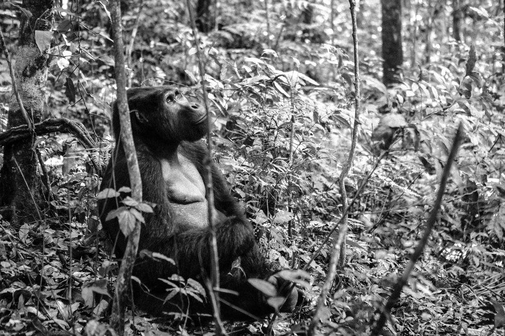 Gorilla (10 of 16).JPG
