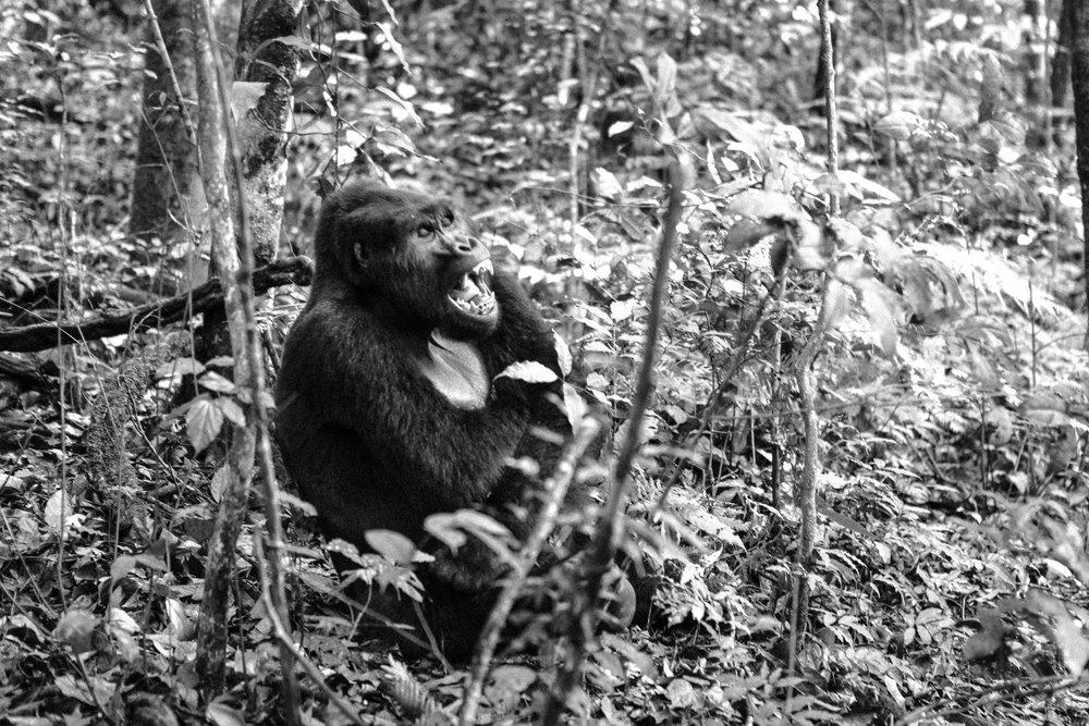 Gorilla (11 of 16).JPG