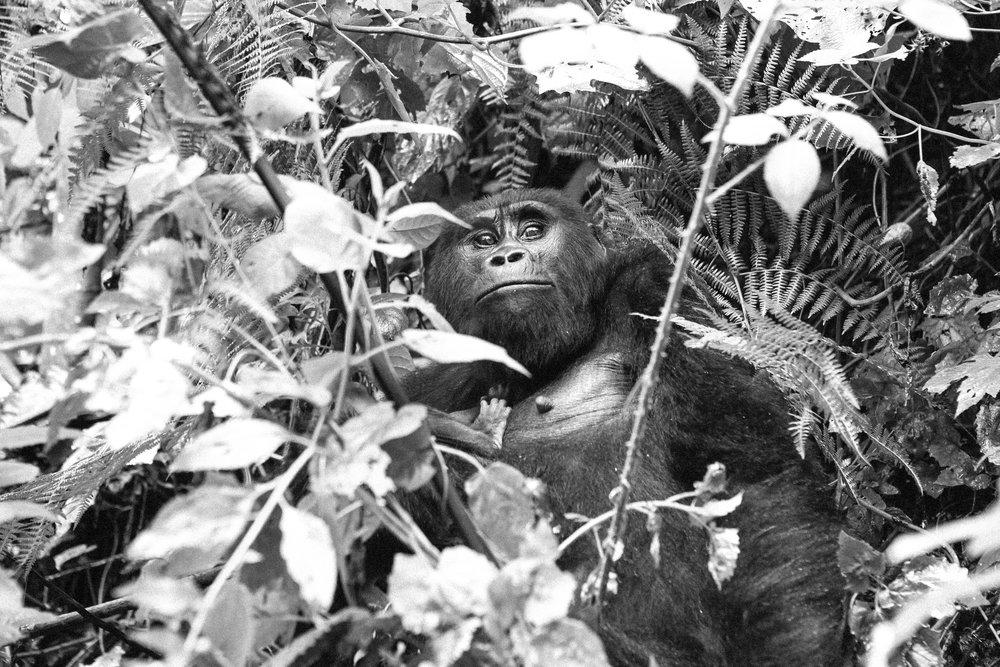 Gorilla (13 of 16).JPG