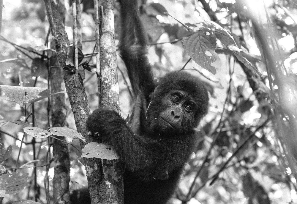 Gorilla (7 of 16).JPG