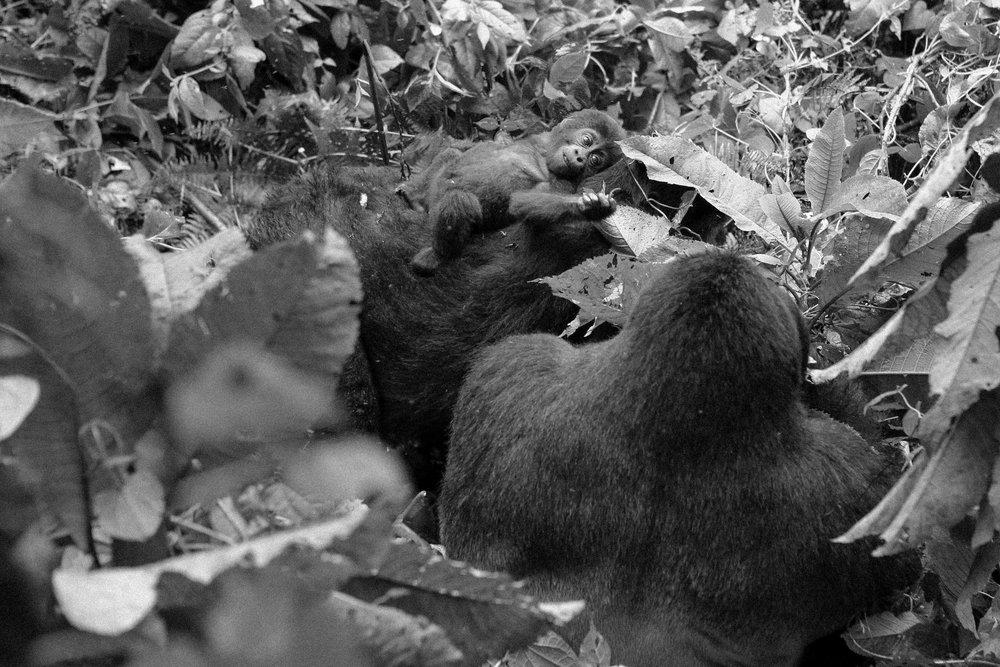 Gorilla (14 of 16).JPG