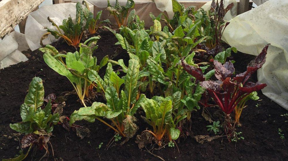 april-danann-lettuce.jpg