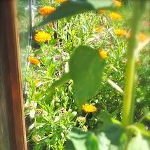 april-danann-marigolds