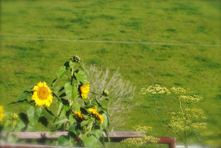 April-Danann-Sunflowers-in-the-garden.jpg
