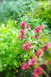 april-danann-Bergamot-in-garden.jpg