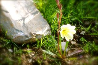 Evening Primrose in my garden yesterday