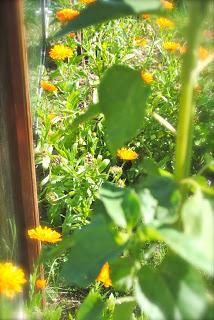 april-danann-Marigolds-in-garden.jpg