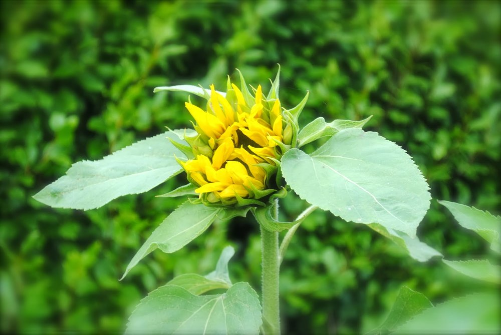 april-danann-opening-Sunflower-in-garden.jpg