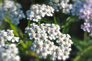 april-danann-Yarrow-in-the-garden.jpg
