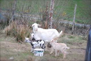 april-danann-Goat-with-3 kids.jpg
