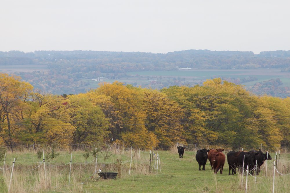 Good Life Farm raises grass-fed beef. Diversifying yields not only increases a farm's ecological resiliency, but greatly contributes to it's resistance to financial shock.