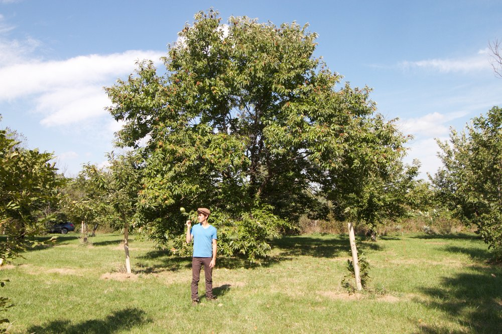 Jeremy next to a mature chestnut tree, loaded with nuts, also at Red Fern Farm in Wapello, Iowa.