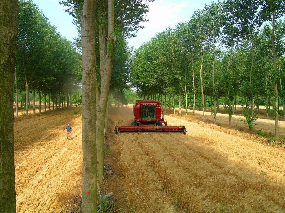 Alley cropped poplar and wheat in Southern France; Denis Flores Agroforestry