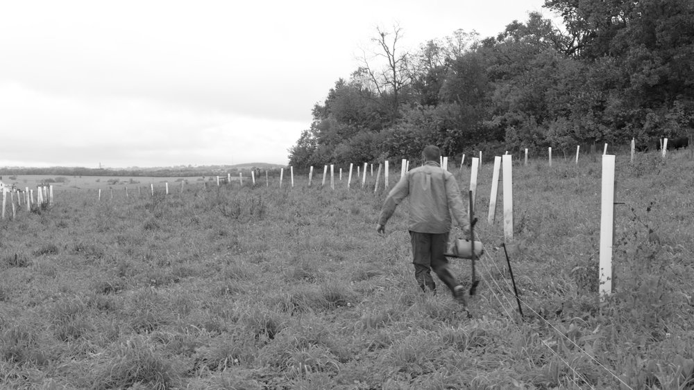 Mobile fencing allows Jacob to graze cattle, pigs, sheep, and laying hens between his rows of trees. Apples, pears, oaks, chestnuts are laid out in curving parallel rows that approximately follow the contour of the land.