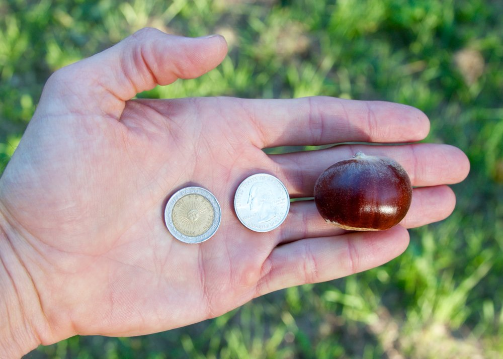 Chestnut sizes vary. This nut is on the larger side. I keep an Argentine Peso in my wallet for photos like this.