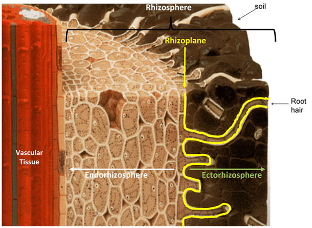 Figure 1  Schematic of a root section showing the structure of the rhizosphere. Modified from http://cse.naro.affrc.go.jp.