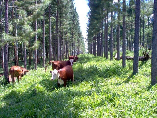 Silvopasture creates constant edge. Not only does a system like this yield beef and timber, but it yields beef that has not been sun-stressed and early-year cash flows make timber plantations more viable as a land use practice.