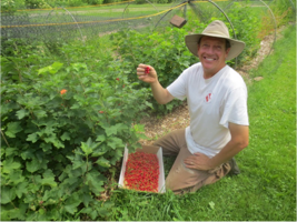 John harvesting red currants!