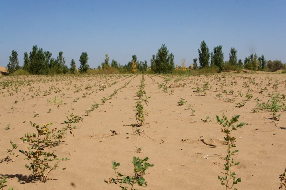 Drought-resistant plants growing in the Kubuqi desert near Ordos, China