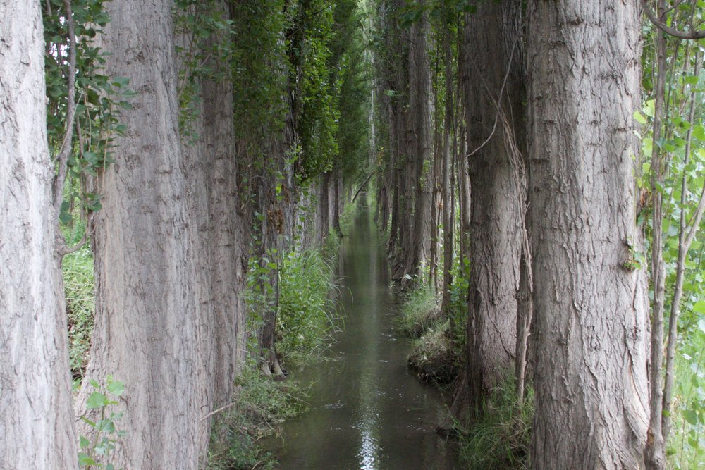 Rows of poplars line the irrigation canals. The resulting leafy walls serve as windbreaks.