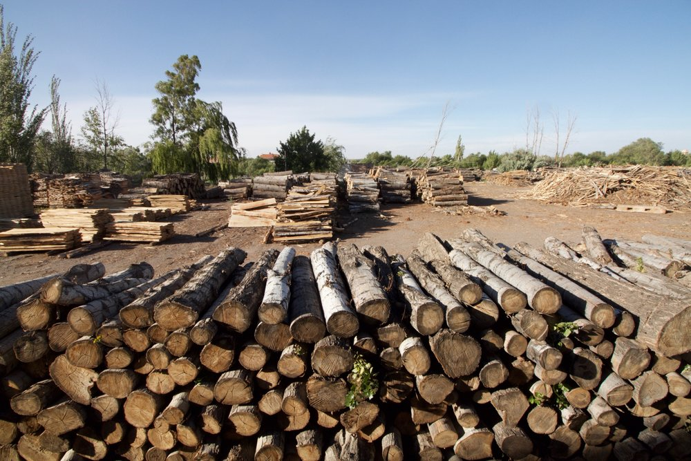 Poplar trees don't live very long. They have evolved to colonize an area, grow quickly, and then make way for late-successional species such as oaks and chestnuts. In this scenario, they become apple boxes and pallets.
