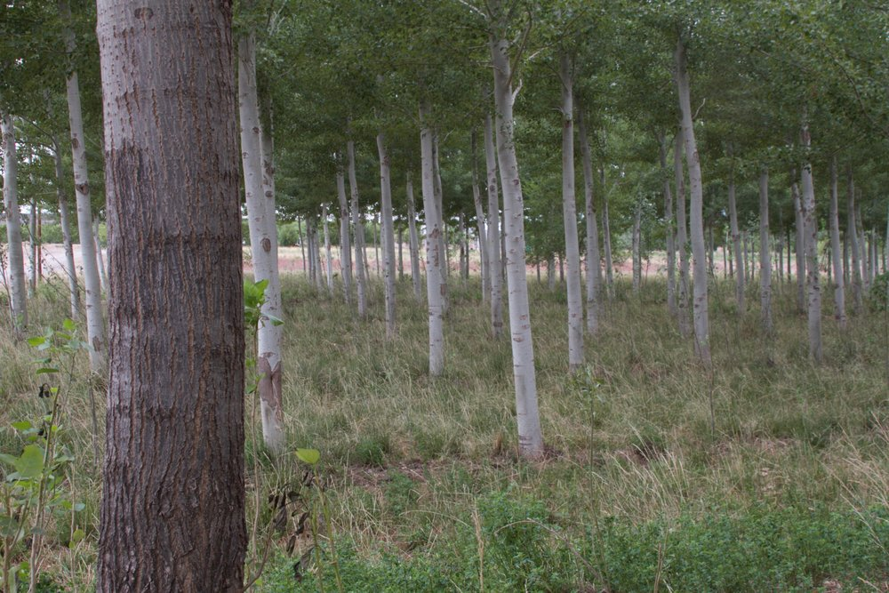 In the foreground of this photo is a  Populus nigra  hybrid, and  Populus canescens,  the silver poplar, is a fast-growing hybrid of the white poplar and Swedish aspen. Poplars are a versatile genus that also includes aspens and cottonwoods, and different varieties do well in different soil types.