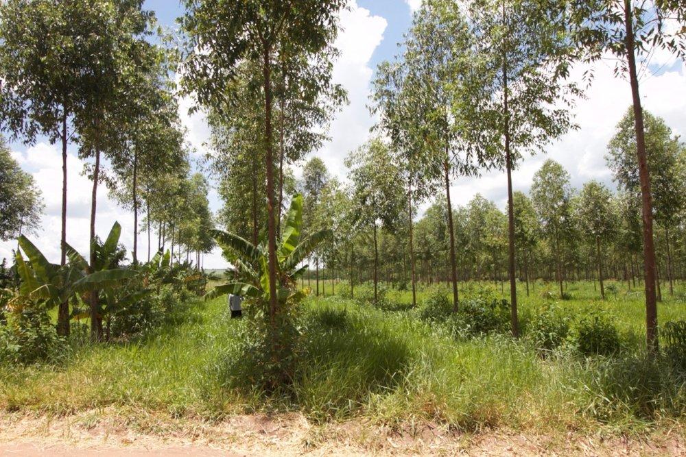 Bananas & Eucalyptus in Brazil