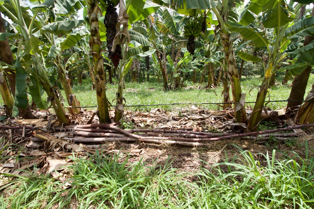 Drip irrigation provides the water necessary for production agriculture. The catch is that the pruned eucalyptus branches and spent banana stalks below act as a carbon sponge: water use drops considerably, and drought resilience increases greatly. This section of Toca is mostly just bananas and eucalyptus. A nearby section adds in mangos trees as well.